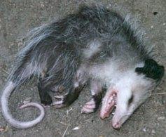 Armadillo Opossum Tha Critter Getter